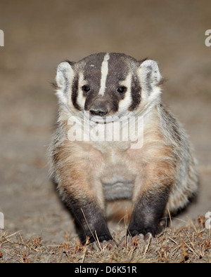 Badger (Taxidea taxus), Buffalo Gap National Grassland, Conata Basin, South Dakota, United States of America, North - Stock Photo