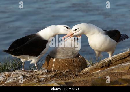 Black-browed Albatross, Thalassarche melanophrys, Schwarzbrauenalbatros, Saunders Island, Falkland Islands, pair - Stock Photo