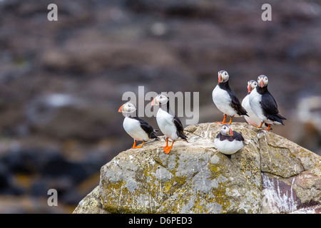 Atlantic puffins (common puffins) (Fratercula arctica), Flatey Island, Iceland, Polar Regions - Stock Photo