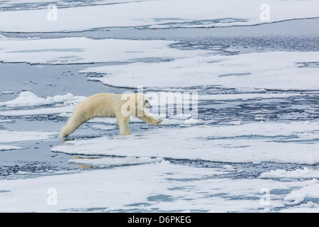 Adult polar bear (Ursus maritimus) on the ice near the Sujoya Islands, Svalbard, Norway, Scandinavia, Europe - Stock Photo