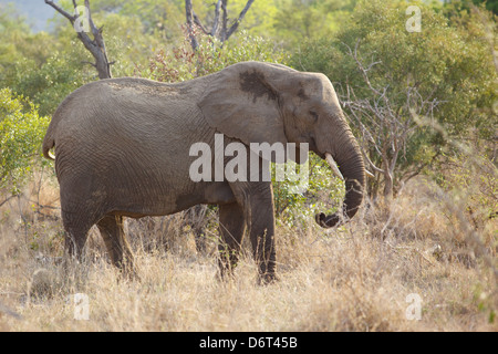 An African elephant (Loxodonta africana) cow in the Kruger National Park, South Africa. - Stock Photo