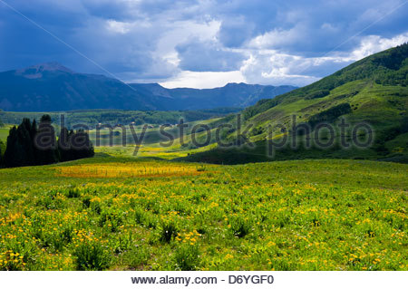Field of wildflowers in the town of Mt. Crested Butte (ski resort), near Crested Butte, Colorado USA - Stock Photo