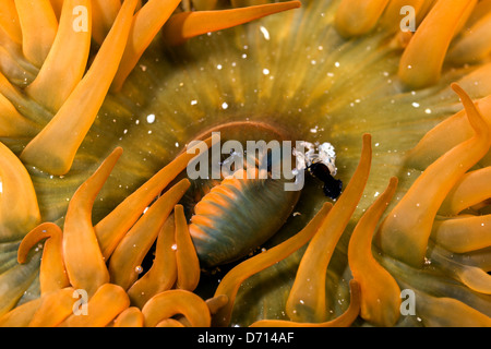 A close up detail photograph of an orange beadlet anemone in a rock pool. - Stock Photo