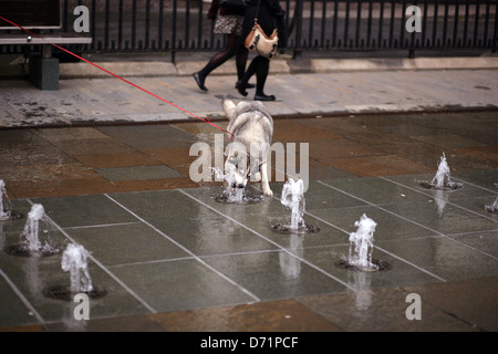 Dog snaps at the water from a fountain at the Albert clock Memorial,Belfast - Stock Photo