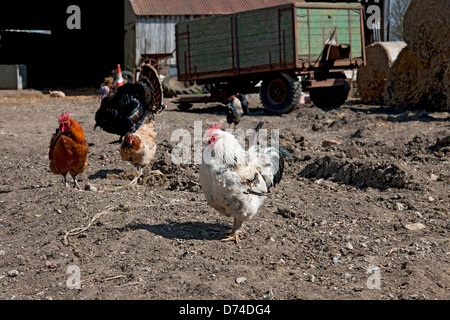Chickens in a farmyard North Yorkshire England UK United Kingdom GB Great Britain - Stock Photo