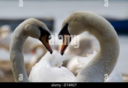 Swans making a heart shape - Stock Photo