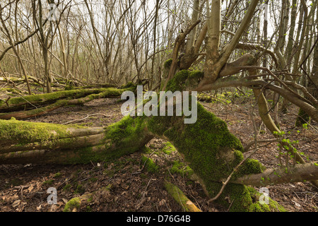 tree blown over in hurricane of 1987 has sprouted new vertical tree growth trunks from main stem now lying on ground - Stock Photo