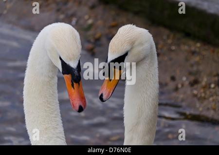 Two swans making a heart shape - Stock Photo