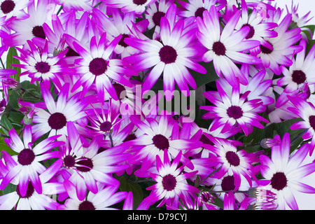 Senetti Magenta BiColour, colorful flowers. - Stock Photo