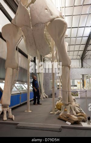Paleontologist Dave Trexler gazes up at the replica of Seismosaurus he built, Two Medicine Dinosaur Center, Bynum, - Stock Photo