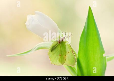 Yellow Brimstone butterfly, Gonepteryx rhamni on white Tulipa cultivar. - Stock Photo