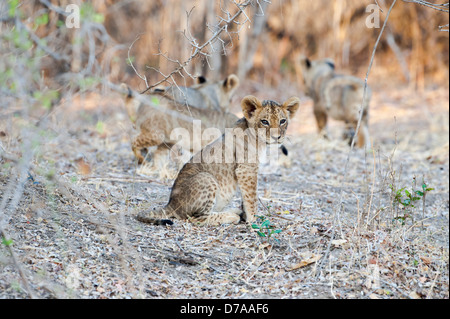 African lion cubs Panthera leo approx 3 months old near Luangwa River South Luangwa National Park Zambia - Stock Photo