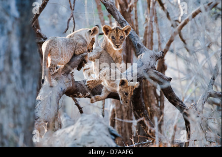 African lion cubs Panthera leo approx 3 months old playing near Luangwa River South Luangwa National Park Zambia - Stock Photo
