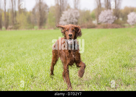 Irish setter runs on a grassland - Stock Photo