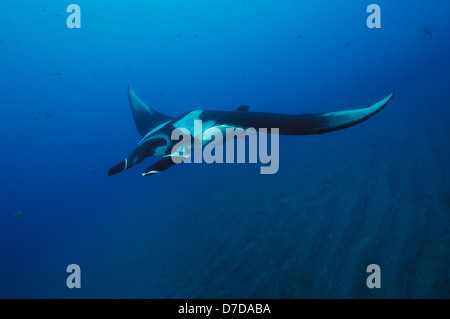 Giant Manta, Manta birostris, Revillagigedo Islands, Mexico - Stock Photo