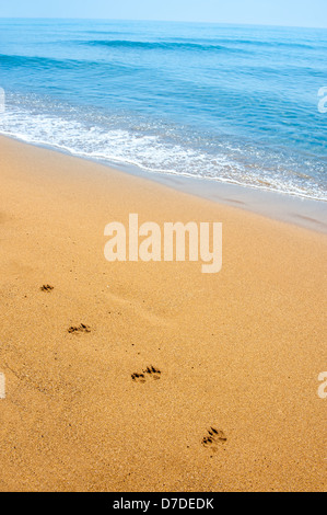 Isolated dog footsteps in sand along the shore, on tropical beach - Stock Photo