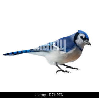 Blue Jay (Cyanocitta cristata) ,On White Background - Stock Photo