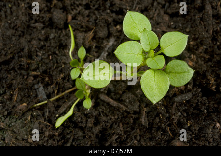 Seedling developing into a young plant of chickweed, Stellaria media, an annual agricultural and garden weed - Stock Photo