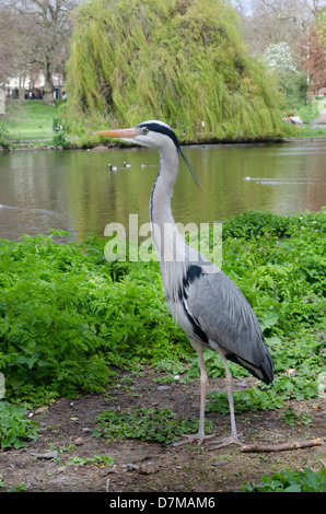 Grey heron seen close to the lake in St. James Park, London. - Stock Photo