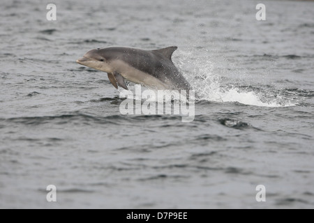 Bottlenose dolphin calf (Tursiops truncatus) breaching in the Moray Firth. Scotland. - Stock Photo