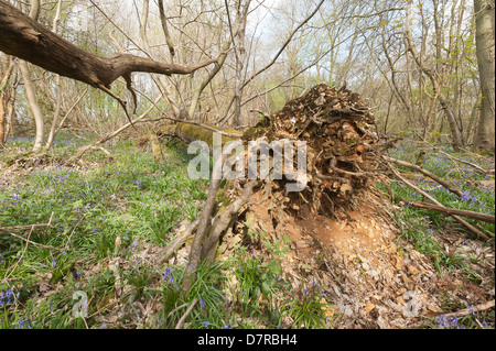 chestnut tree blown over in hurricane of 1987 has sprouted new vertical tree growth trunks from main stem now lying - Stock Photo
