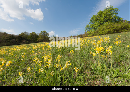 Common English Cowslip springtime bloom wildflower on south facing managed chalk grassland hill slope primrose yellow - Stock Photo