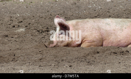 A image taken in the Kent countryside of a large pig laying in the sun sleeping. - Stock Photo