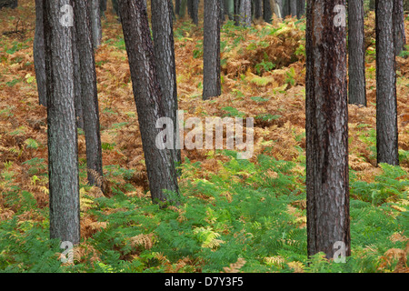 Scots Pine (Pinus sylvestris) and bracken in coniferous forest in autumn - Stock Photo