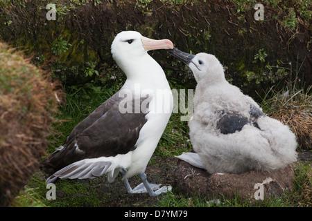 Black-browed Albatross; Thalassarche melanophrys - Stock Photo