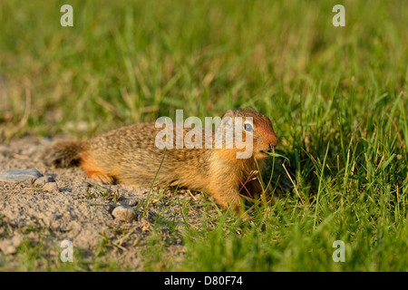 Columbian ground squirrel Spermophilus columbianus Feeding and alert near burrow in urban setting Canmore Alberta - Stock Photo