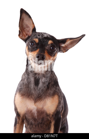 Prager Rattler Portrait - Stock Photo