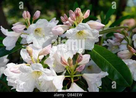 Rhododendron flowers - Stock Photo