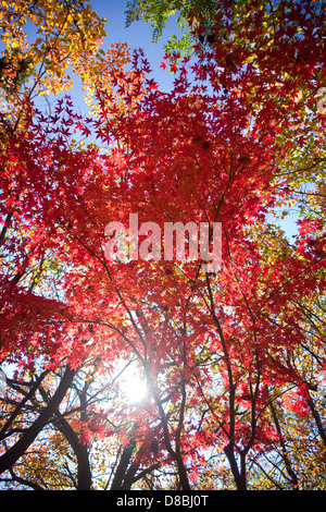 Brightly coloured Autumn leaves against a blue sky. - Stock Photo
