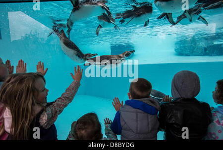 Tenby, Pembrokeshire, UK. 24th May 2013. 24.05.13 Children take a look at the Humboldt Penguins at the new Penguin - Stock Photo
