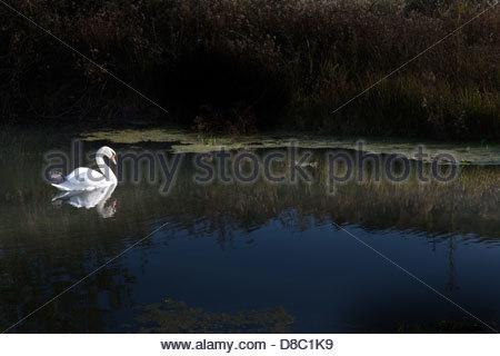 Swan floating in a lake, Pogradec, Albania - Stock Photo