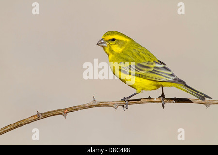 Yellow Canary (Serinus flaviventris), Nossob Campsite, Botswana - Stock Photo