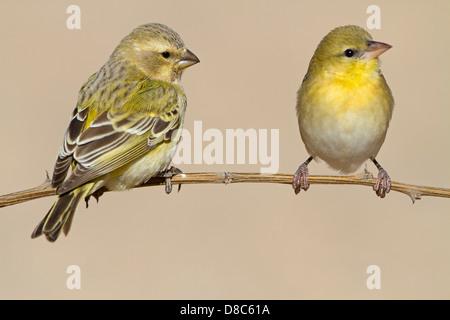 Two Yellow Canaries (Serinus flaviventris), Nossob Campsite, Botswana - Stock Photo