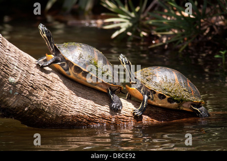 Florida Red-bellied Turtles - Green Cay Wetlands - Boynton Beach, Florida USA - Stock Photo
