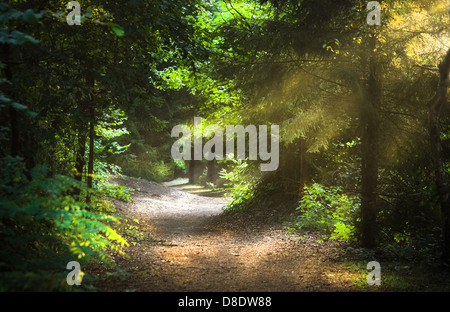 Sunbeams through the trees on early morning in the forest - Stock Photo