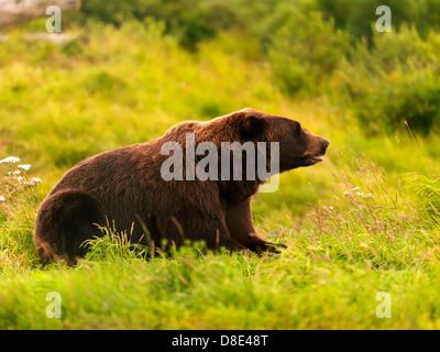 Alaskan brown bear - Stock Photo