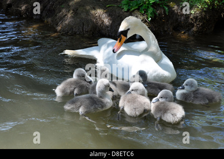 Mother Mute swan (Cygnus olor) with cygnets Abbotsbury Swannery, Dorset - Stock Photo