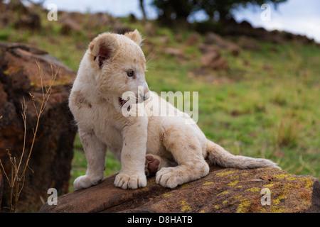 White Lion cub sitting on a rock - Stock Photo