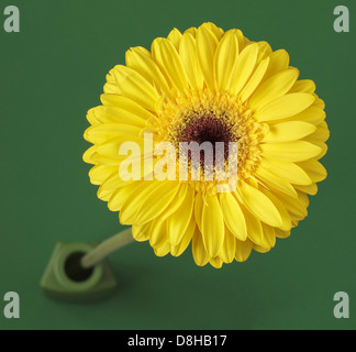 Yellow gerbera in green vase - Stock Photo