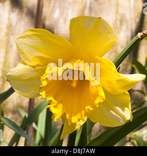 Daffodil Flower in Full Spring Bloom in a Cheshire Garden Alsager England United Kingdom UK - Stock Photo
