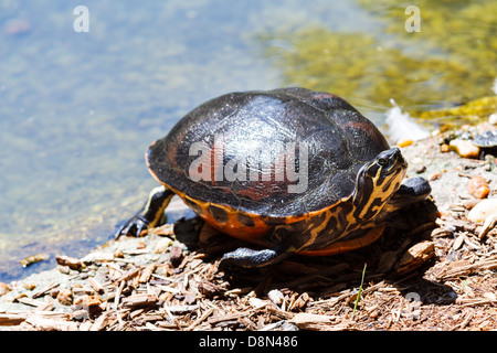 A Florida redbelly turtle in a pond in the south of USA - Stock Photo