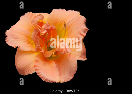 Day Lily on a black background - Stock Photo