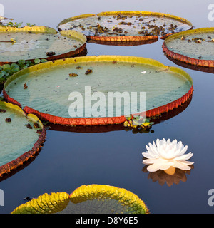 Giant Water Lilies Victoria amazonica in Lake near Cuiaba River Northern Pantanal Brazil - Stock Photo