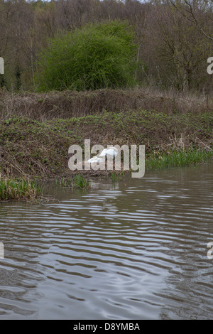 A pair of Mute Swans on a nest at the side of a canal. - Stock Photo