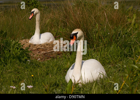 Pair of Mute Swans and their nest - Stock Photo
