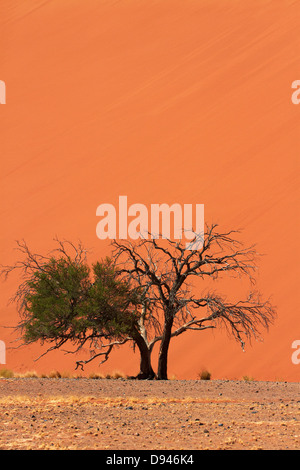 Acacia tree at Dune 45, Namib-Naukluft National Park, Namib Desert, Namibia, Africa - Stock Photo